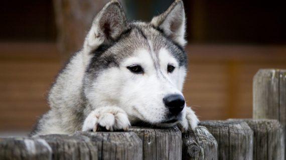 Husky_Schlittenhunderlebnisse im Muotatal