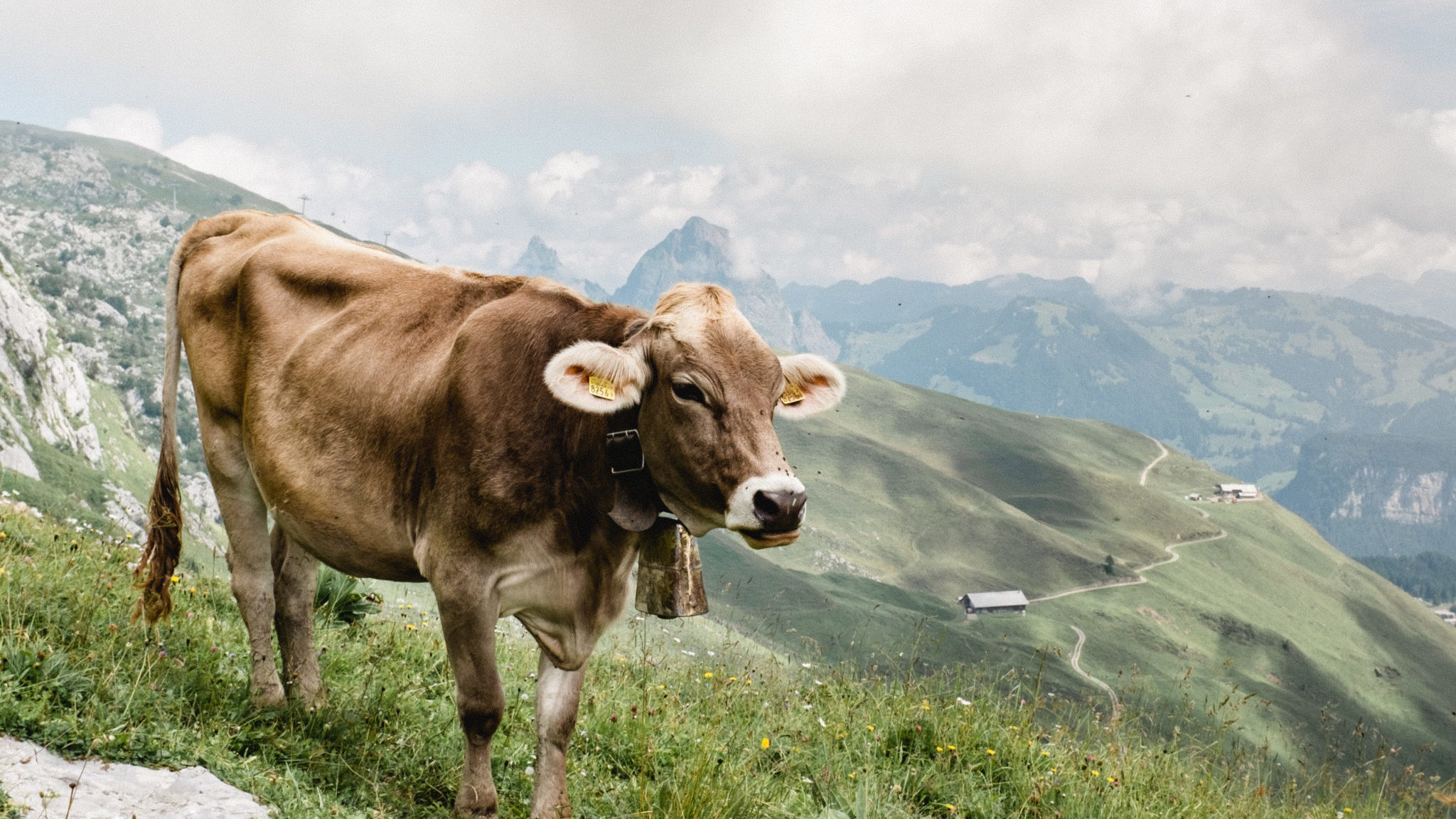Kuh auf dem Stoos